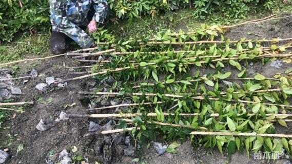 主蔓长200厘米常春油麻藤