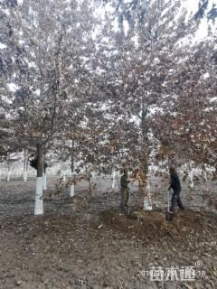 17公分北美红栎