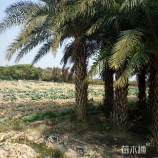 裸干高200厘米中东海枣