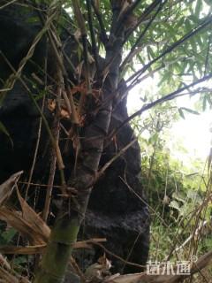 主蔓长1厘米龟背竹