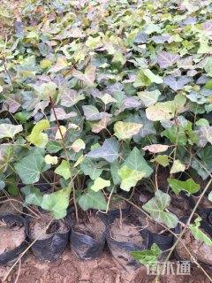 40厘米常春藤