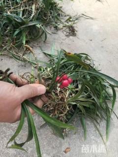 高度10厘米富贵草