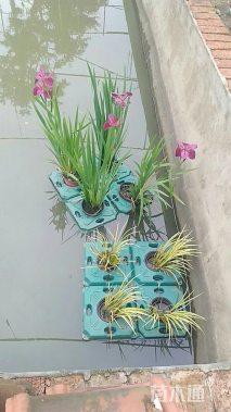 浮床用水生盆苗,