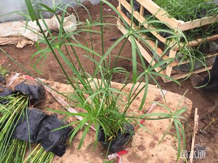 高度30厘米旱伞草