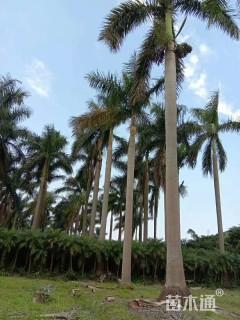 裸干高800厘米大王椰子