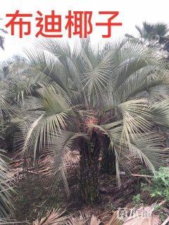 裸干高200厘米布迪椰子