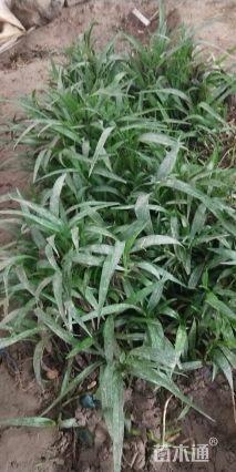 高度13厘米富贵草