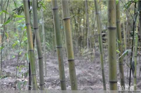 3公分斑竹