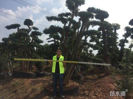 70公分造型榆树