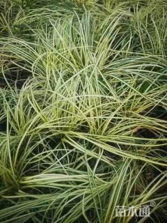 高度30厘米金叶苔草