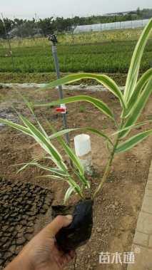 高度32厘米花叶芦竹
