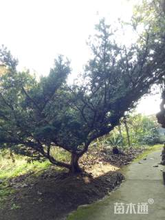 高度150厘米矮紫杉