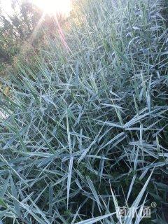 高度100厘米花叶芦苇