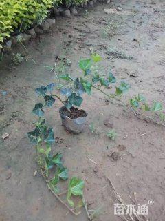 主蔓长40厘米常春藤