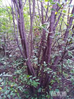 高度800厘米丛生茶条槭