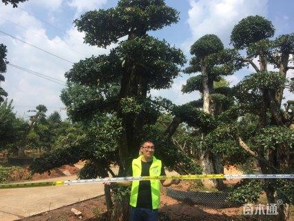 40公分造型椤木石楠