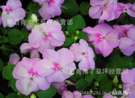 高度20厘米凤仙花