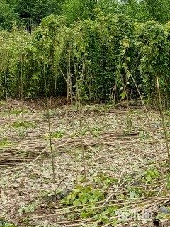 主蔓长100厘米常春油麻藤