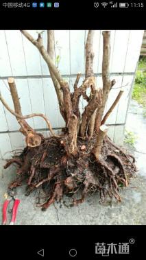 造型红花勒杜鹃