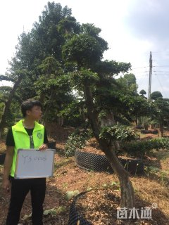 20公分造型榆树