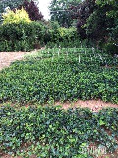 30厘米常春藤