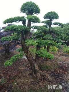 移栽苗造型榆树
