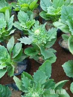 高度10厘米翠菊