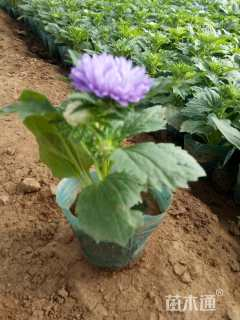 高度15厘米翠菊