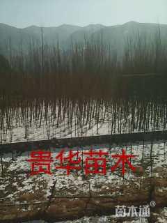 北京杨,新疆杨,旱柳