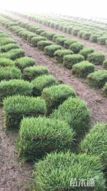 草块状中华结缕草