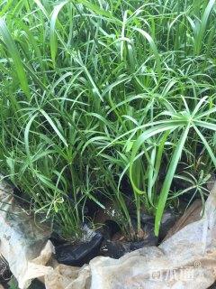 高度60厘米旱伞草