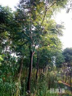 15公分黄山栾树