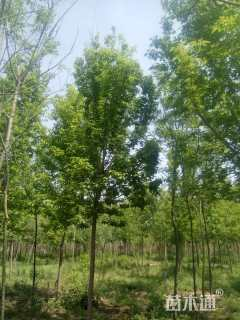 10公分复叶槭