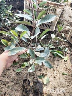 高度50厘米红叶石楠小苗