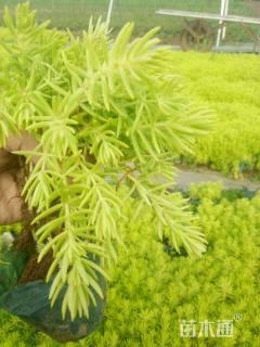 高度10厘米金叶佛家草
