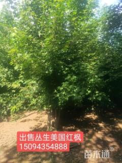 15公分美国红枫