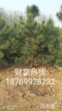 高度250厘米黑松