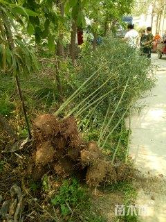 3公分竹子