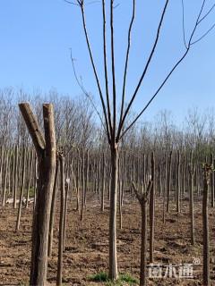 15公分栾树