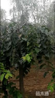 移栽苗大叶垂榆
