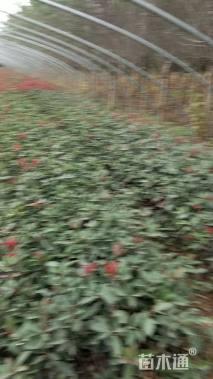 1公分红叶石楠