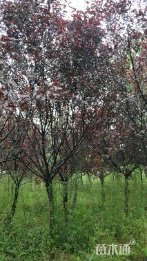 7公分紫叶矮樱