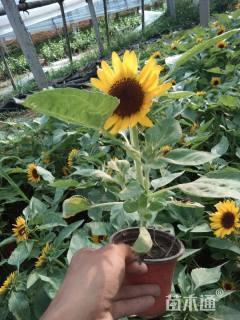 高度30厘米向日葵