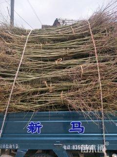 2公分鸡爪槭