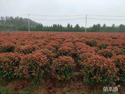 5公分红叶石楠
