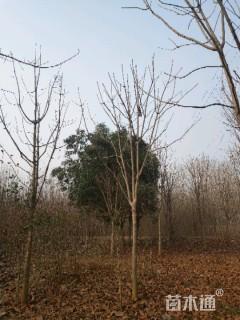 10公分七叶树