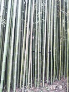 地栽苗6公分早园竹