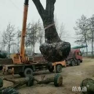 40公分枣树