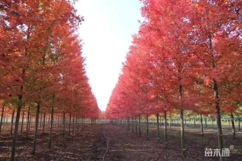 12公分美国红枫