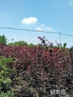 高度300厘米三季红红枫